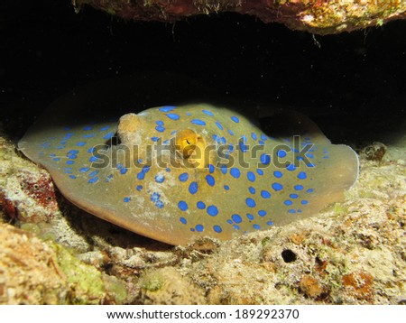 Blue spotted ribbontail stingray - stock photo
