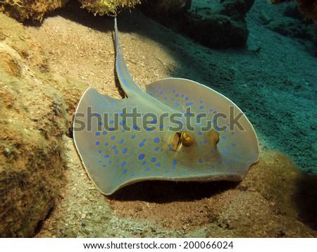 Blue spotted ribbontail stingray (Taeniura lymma) - stock photo