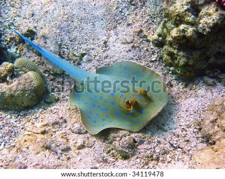 Blue-spotted stingray and coral - stock photo