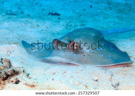 Blue Spotted Stingray feeding on a sandy sea floor