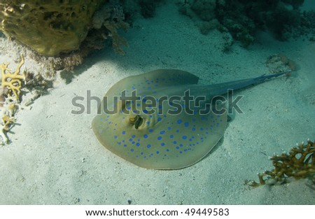 Blue spotted Stingray on a coral reef in the Red Sea, Egypt