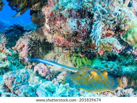 Blue Spotted Stingray on a tropical coral reef - stock photo