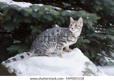 Blue spotted tabby Bengal kitten on nature background.
