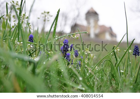 Blue spring flower in the dew on the background of the old house