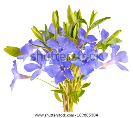 Blue spring flower isolated on white background - stock photo