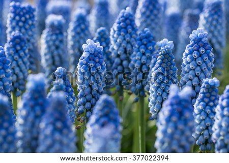 Blue spring flowers grape hyacinth, close-up. - stock photo