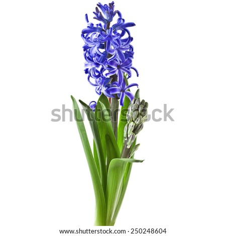 Blue Spring flowers hyacinths isolated on a white background - stock photo
