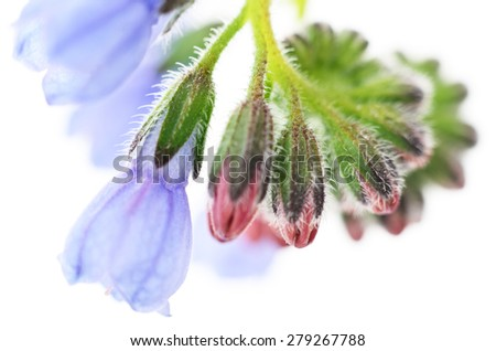 blue spring flowers isolated on white background - stock photo