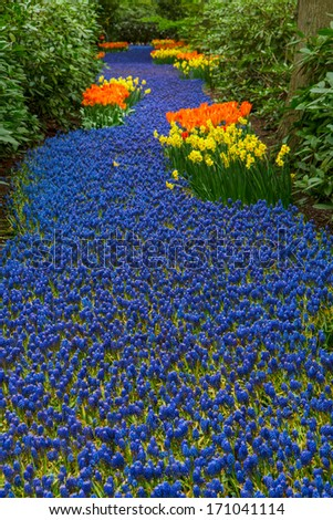 Blue spring  river of muscari flowers  in holland garden Keukenhof - stock photo