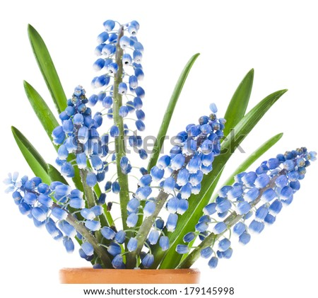 Blue Springs flowers Muscari in clay flowerpot Isolated on white background - stock photo