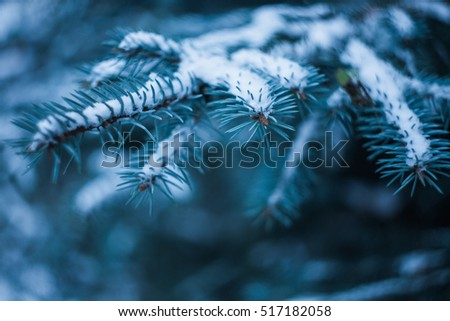 blue spruce branch with snow