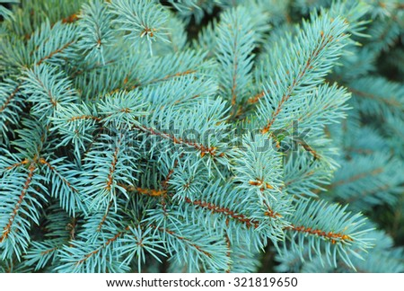 Blue spruce branches on a textured  background. Blue spruce, green spruce, white spruce, Colorado spruce or Colorado blue spruce, with the scientific name Picea pungens, is a species of spruce tree. - stock photo