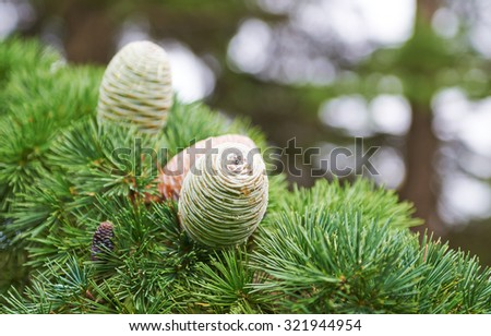 Blue spruce fir cone natural background - stock photo