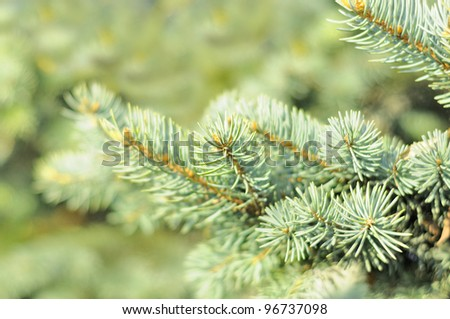 Blue Spruce Tree Branches