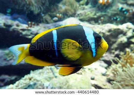 Blue stripe clown-fish in aquarium - stock photo