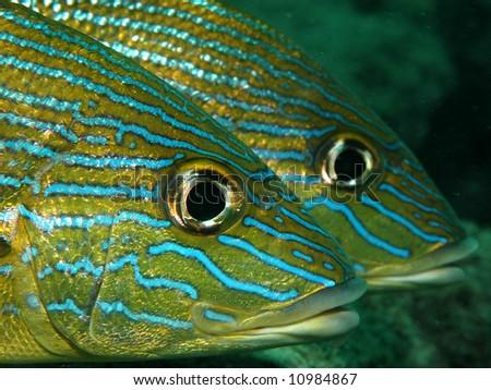 Blue Stripe Grunt-Haemulon sciurus - stock photo