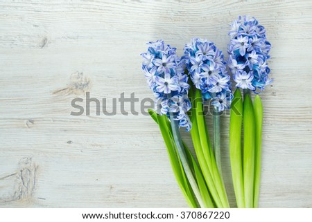 blue striped hyacinth flowers on wooden surface - stock photo