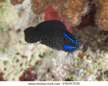 Blue stripped dottyback in Red sea, Egypt, Hurghada - stock photo