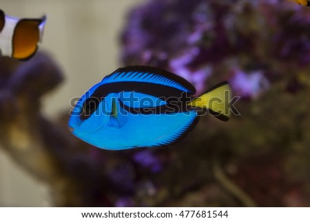 blue surgeon fish amongst the corals
