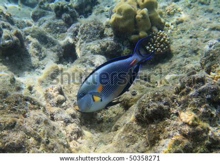 Blue surgeonfish - stock photo