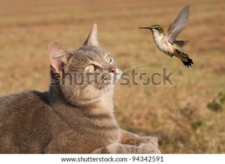 Blue tabby cat watching a Hummingbird flying - stock photo