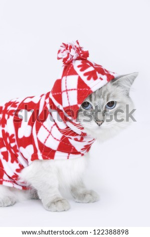 Blue Tabby Ragdoll at Christmas - stock photo