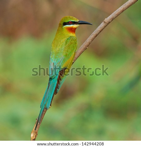 Blue tailed Bee eater on a branch.(Merops philippinus)