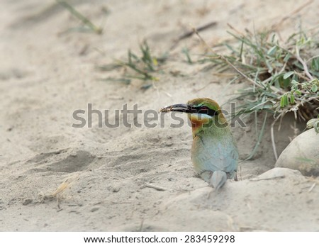 Blue tailed bee eater taking prey for baby - stock photo