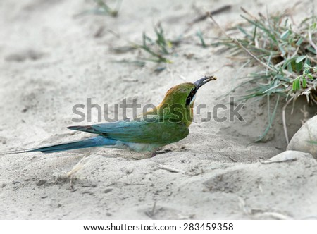Blue tailed bee eater with a bee - stock photo