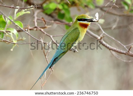 Blue tailed bee eater with prey - stock photo
