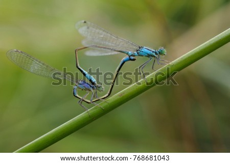 Blue-tailed damselflies mating on a plant stem.