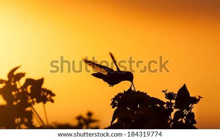 Blue Tailed Emerald hummingbird in the sunset Curacao caribbean - stock photo