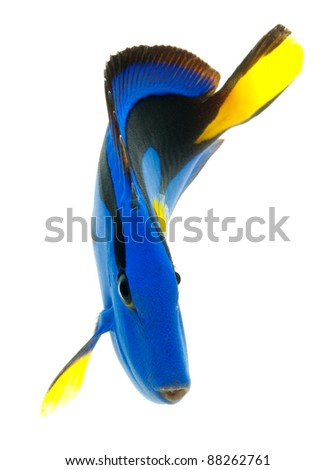 blue tang , marine coral fish isolated on white background - stock photo