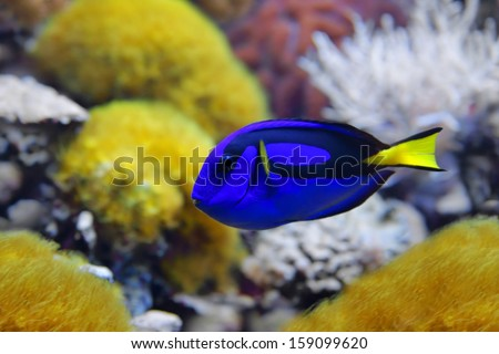 Blue tang (Paracanthurus hepatus), a number of common names are attributed to the species, including  Palette surgeonfish, Regal tang - stock photo