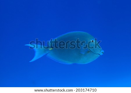 Blue tang surgeonfish (Acanthurus coeruleus) in the tropical waters of the caribbean sea  - stock photo
