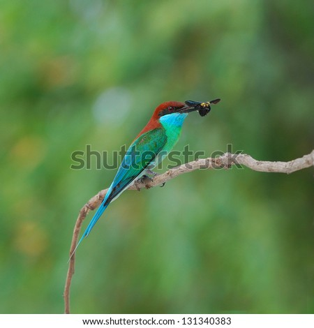 Blue-throated Bee-eater on a branch.(Merops viridis)