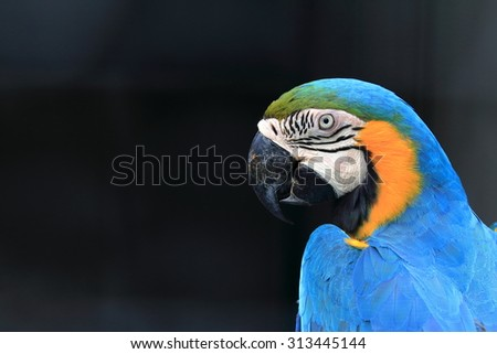 Blue throated macaw close up head shot - stock photo
