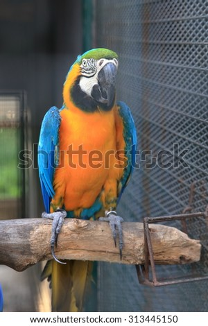 Blue throated macaw perching on wood - stock photo