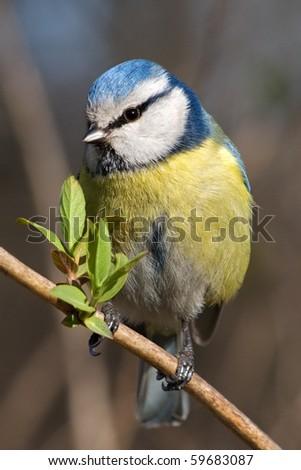 Blue tit - stock photo