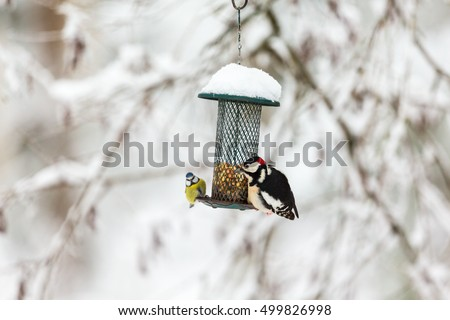 Blue tit and a Great Spotted Woodpecker at a bird feeding