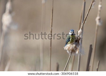 Blue Tit and brown background - stock photo