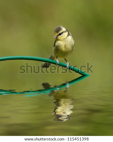 Blue Tit and reflection - stock photo