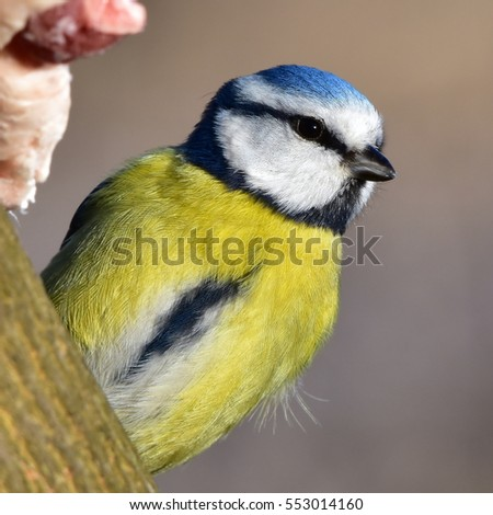 blue tit and suet,importent food in winter time