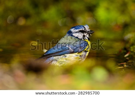 blue tit bathing in a puddle - stock photo