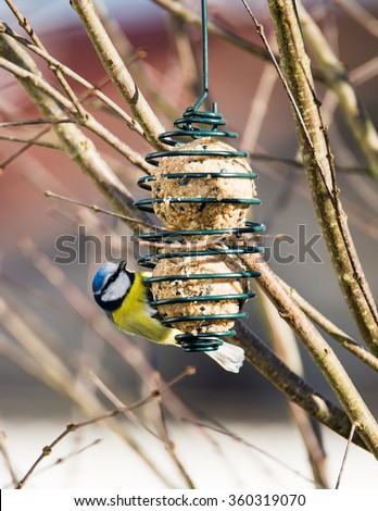 Blue tit bird eating at a bird feeder hanging on a tree - stock photo
