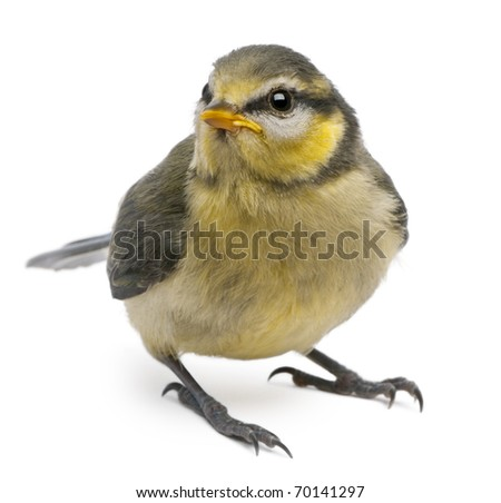 Blue Tit, Cyanistes caeruleus, 23 days old, standing in front of white background - stock photo