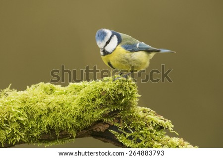 Blue Tit; (Cyanistes caeruleus) perched on a log covered in moss