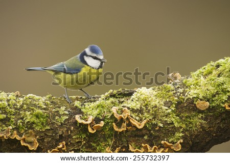 Blue Tit; (Cyanistes caeruleus) perched on a log covered in moss and fungus