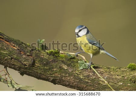 Blue Tit (Cyanistes caeruleus) perched on moss covered log