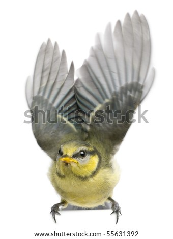 Blue Tit, 23 days old, flapping wings against white background - stock photo